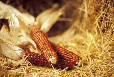 Growing Good Corn